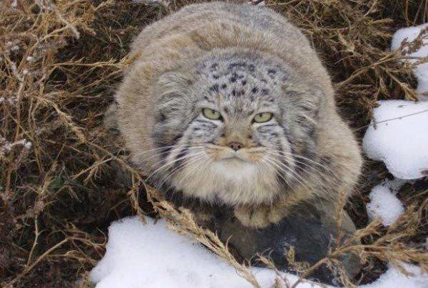 Фермер нашел 4 необычных котят, которые оказались манулами
