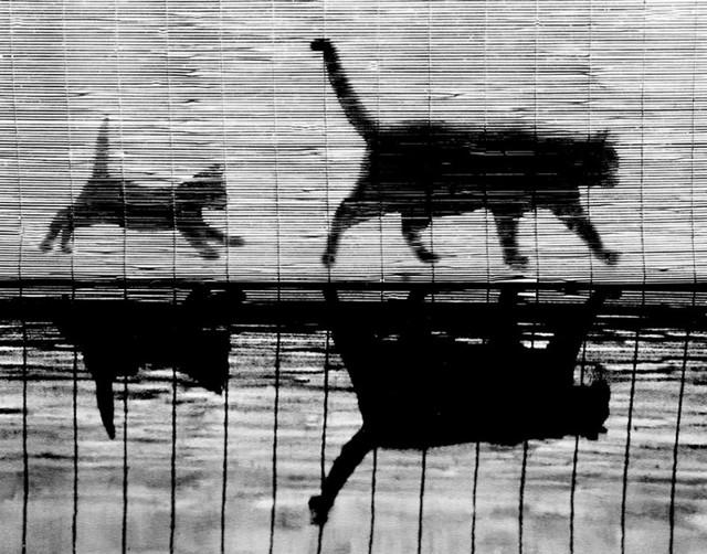 Уолтер Чандоха и его знаменитые фото кошек 1950-60-х гг.