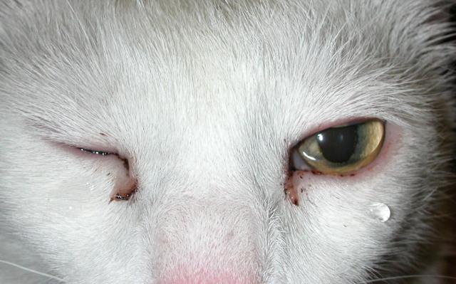 Конъюнктивит у кошек, кота, котенка: симптомы, причины и лечение в домашних условиях