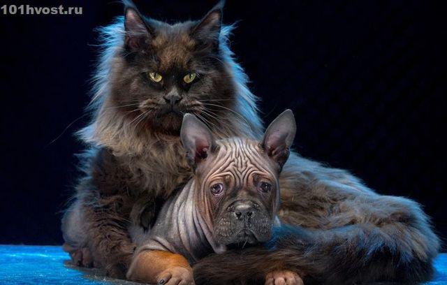 Кот с человеческим лицом: что за порода, как зовут, видео и фото