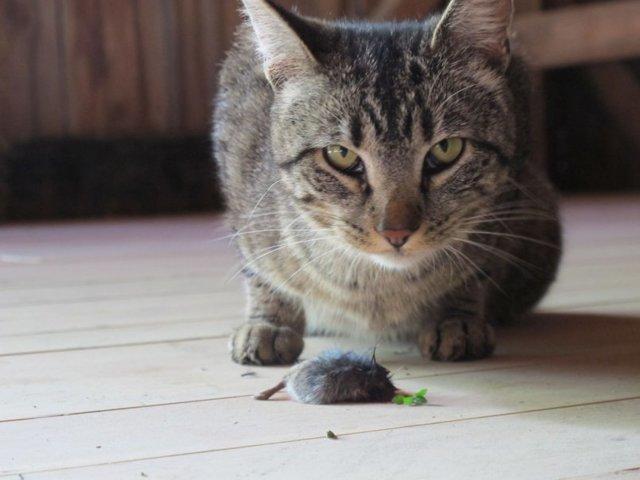 Глисты у кошек, котят: симптомы и лечение, как выглядят