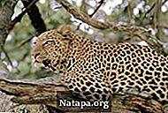 Ягуар и леопард, в чем отличие, сходство: сравнительная таблица