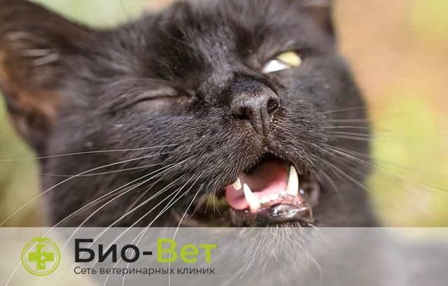 Кошка, кот чихает: причины, лечение, что делать в домашних условиях