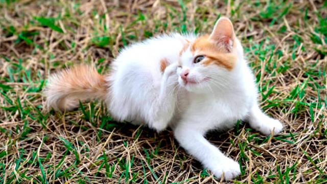 32 средства избавиться от блох у кошки, котенка и кота, инструкции
