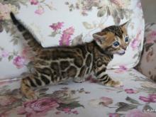 Бенгальская кошка: 25+ фото, цена котят, описание породы