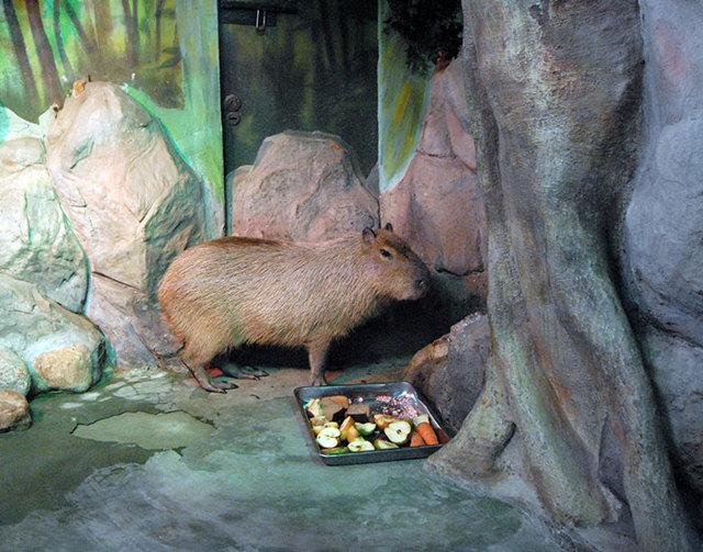 Трагичная судьба капибары из Московского зоопарка