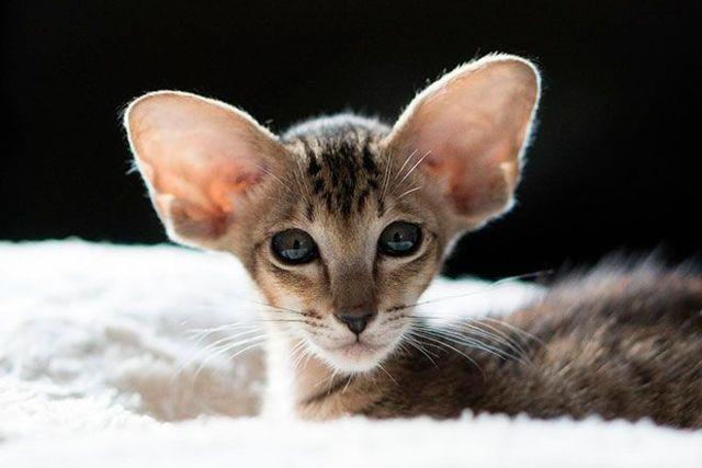 Гипоаллергенные кошки: таблица с 9 породами для астматиков, фото