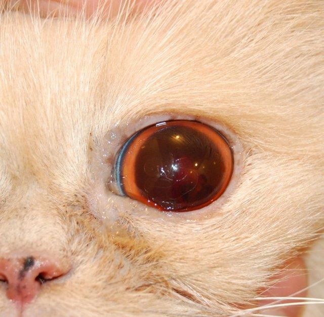 Болезни глаз у кошек: симптомы и лечение, фото каждого заболевания