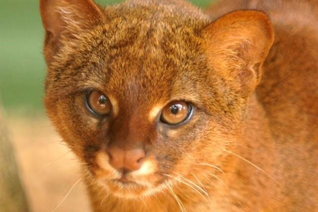 Ягуарунди: 63 фото, можно ли купить котенка, цена, характеристика