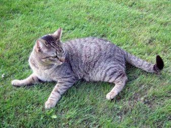 Бразильская кошка: 25+ фото, описание породы, цена