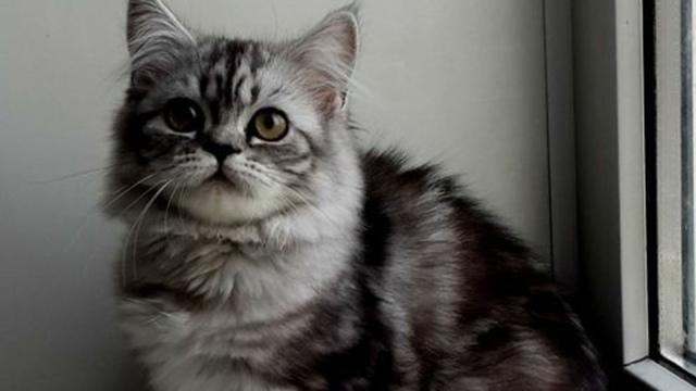 23 породы длинношерстных кошек: 60+ фото и описание