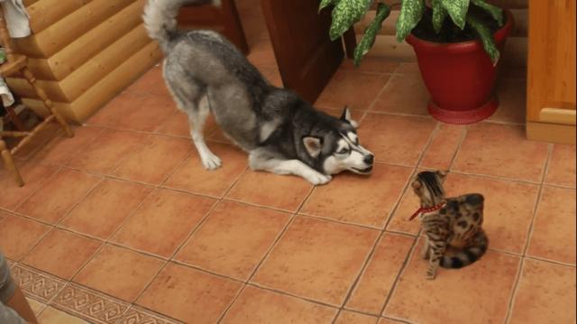 Почему собаки не любят кошек, нападают и гоняются за ними