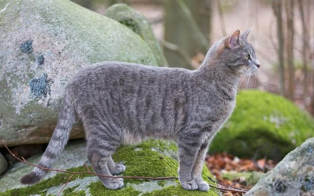 Серый кот в доме: приметы и суеверия и что они означают