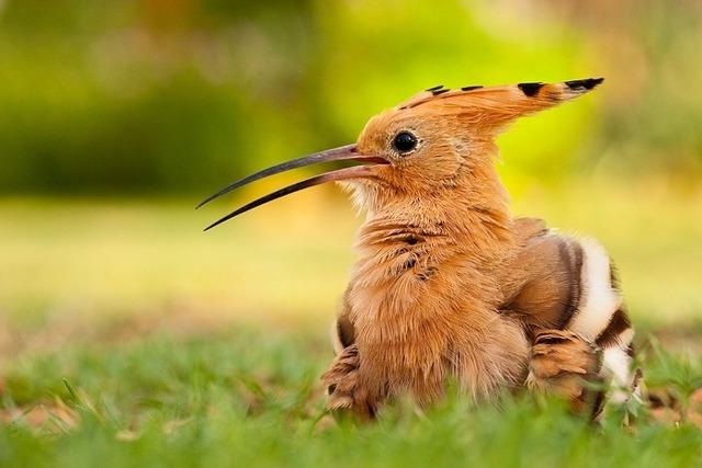 Удод: строят гнезда в телах умерших животных, и другие грязные замашки птицы