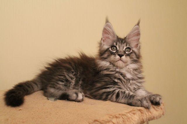 Лысые кошки: обзор ТОП 10 пород, много фото, стоимость