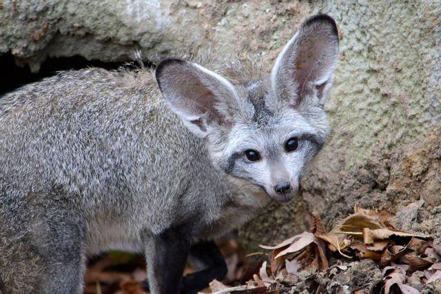 Большеухая лисица: описание, ареал обитания, особенности