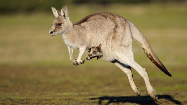 Факты о кенгуру: что происходит в сумке, рождение эмбрионами, отцы-качки