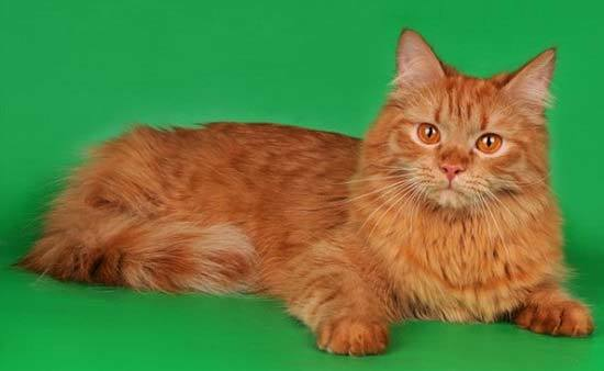 Рыжие коты: обзор ТОП пород, 30+ фото, каких выбрать в дом