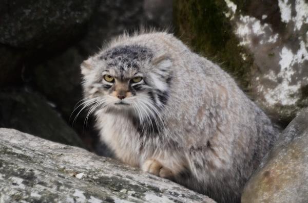 Манул: главный неприручаемый кот которого нельзя потискать, о нем ходят легенды