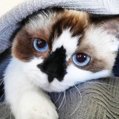 Звезда Инстаграма – кот породы Манчкин с забавным черным носиком