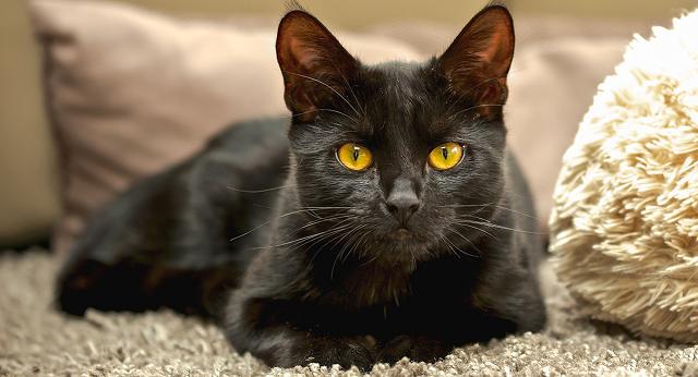 Черная кошка — беда или удача?