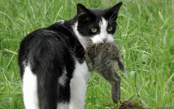 Токсоплазмоз у кошек: диагностика, симптомы, лечение, профилактика