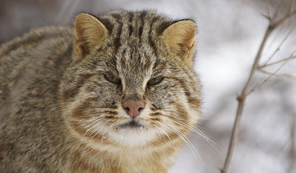 Европейский лесной кот: где обитает в России, 16 фото, содержание