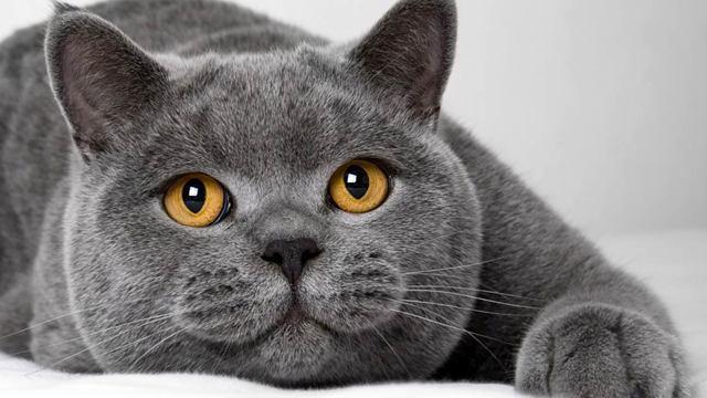 Британская короткошерстная кошка: 25 фото, описание породы
