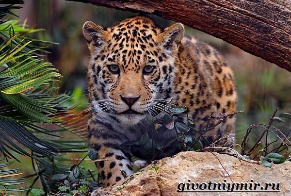 Ягуар: 40 фото животного, описание, черный и пятнистый