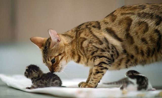 Есть у кошек пупок, как его найти, простой способ
