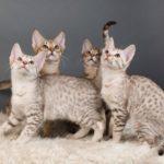Оцикет: 35+ фото кошки, описание породы, уход, цена