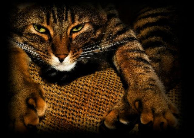 Американский бобтейл: 24 фото, цена кошки, описание породы