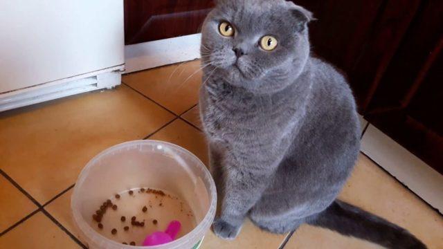 Чем кормить шотландского вислоухого котенка в 1, 2 и 3 месяца