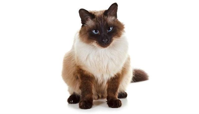 Балинезийская кошка: 19 фото, описание породы, уход и содержание