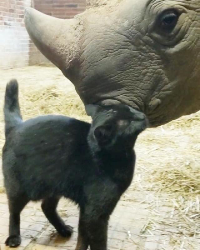 У котика появляется необычный друг Нанди - носорог