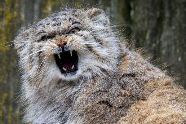 Манул или Палласов кот: 20+ фото, описание, место обитания