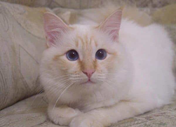 Бирманская кошка: описание породы и характера, 15 фото, цена