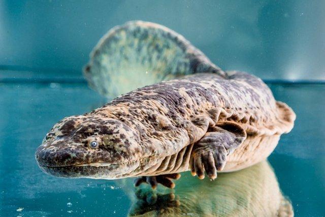 Это исполинская саламандра, которая жила на земле с динозаврами