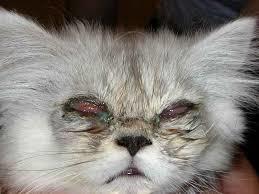 Ринотрахеит у кошек: симптомы, диагностика и лечение