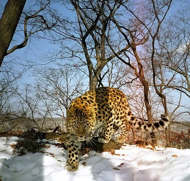Ягуар, леопард и гепард: отличия в таблице + 35 фото и описание
