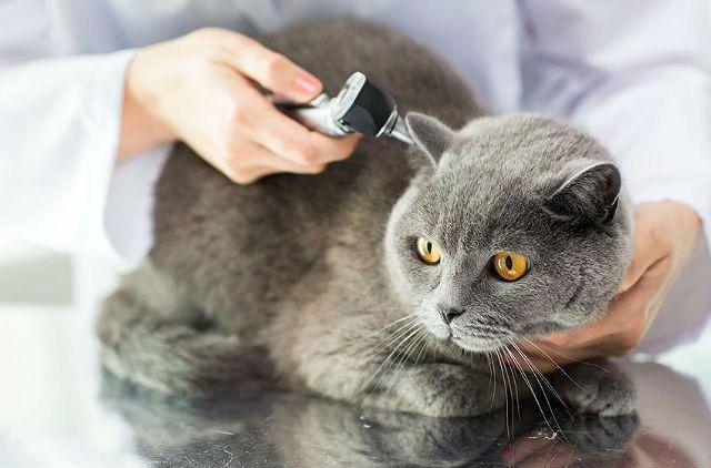 Горячие уши у кота и кошки: что это значит, причины, чем грозит