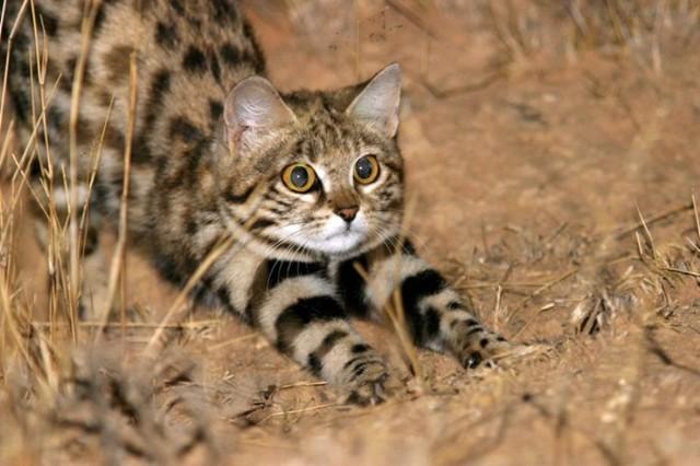 Черноногая африканская кошка: 40+ фото, цена, в домашних условиях