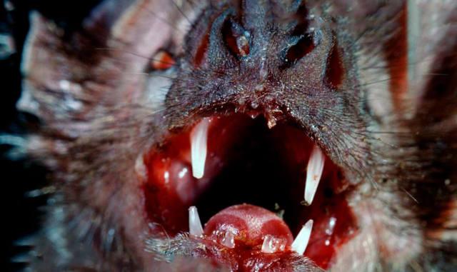 Шпильковая змея: зверь-«вампир» с самыми длинными клыками