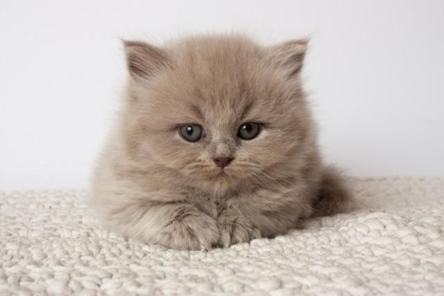 Как ухаживать за британским котенком: воспитание, календарь в таблице