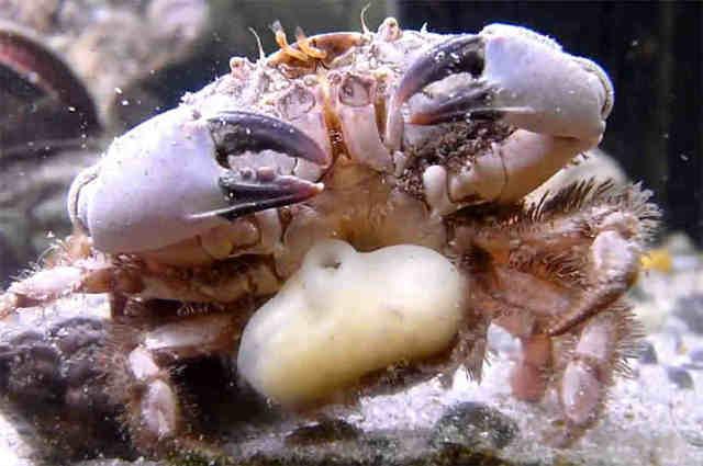 Саккулина: паразит, забирающий тело крабов в свое распоряжение